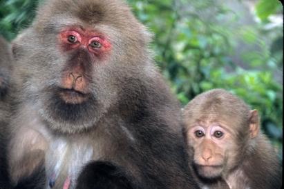macaque_du_tibet_-_femelle_adulte_et_juvc3a9nile